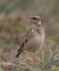 Click to view Larks, Hirundines, Pipits & Wagtails Gallery