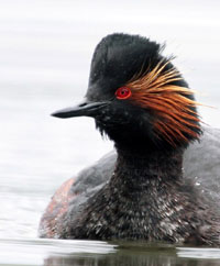 Click to view Divers & Grebes Gallery