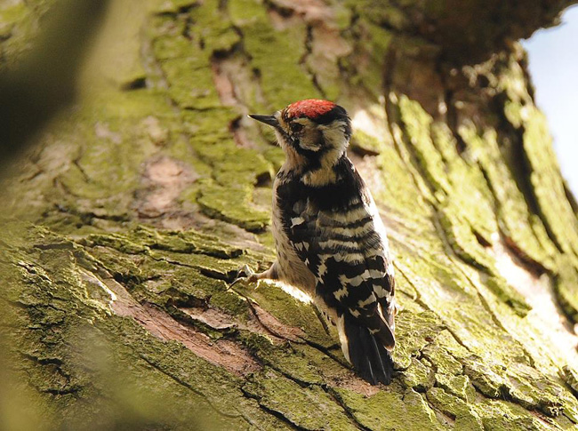 Lesser Spotted Woodpecker [Wollaton Park] March 2015 - ©Graeham Mounteney