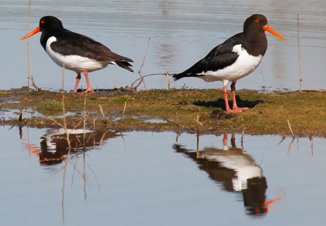 Oystercatcher [Attenborough Nature Reserve] April 2015 - ©John Farrell