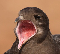Click to view Skuas, Gulls & Terns Gallery